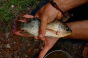 Blue Tilapia evaluation in Malaysia, 2009