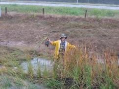 cattail propagation in Arkansas, USA, 2009
