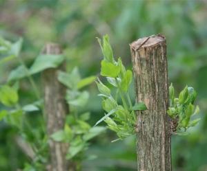 """Coppice of """"invasive"""" Bush Honeysuckle Wildlife at Treasure Lake, Kentucky, 2014"""