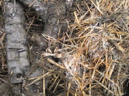 Mycelium running in garden mulch, Bulgaria, 2011