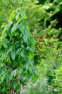 Paw Paw, Asimina triloba, on a swale as part of a food forest. Ohio, USA, 2010