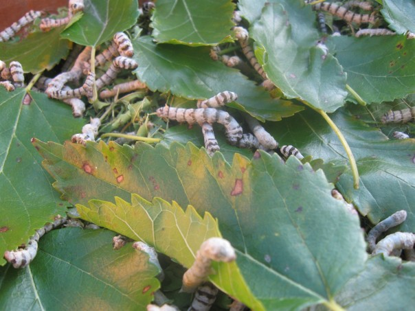 Silk worms and mulberry leaves in iowa