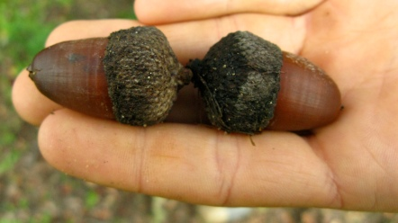 The acorns of Portugal