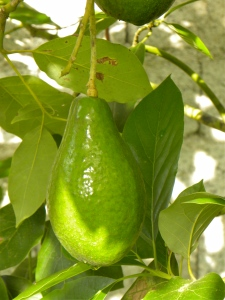 Avocado: Small Fruit set on this young tree but big fruit