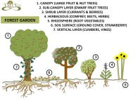 Food Forest which we are trying to immulate- oak overstory, paw paw, russian hawthorn, and cornelian cherry sub- canopy, currants, chokeberry as the shrub layer, comfrey, Asparagus, Goat's Rue, Jerusalem Artichoke and Horseradish as rhizosphere, strawberry, clover ground cover, Hardy Kiwi and Grape as the vine.