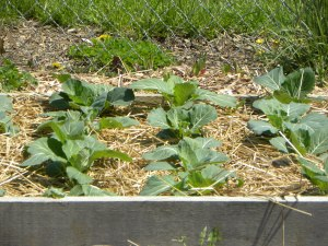 collard greens in the raised beds at Bond Hill