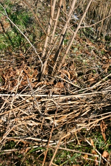 Jerusalem Artichoke stalks used as mulch around a paw paw tree