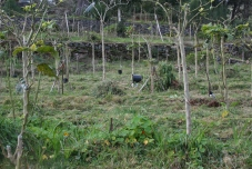 tamarillo Orchard
