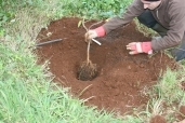 citrus tree planting