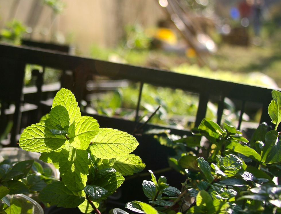food forest mint