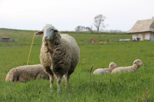 pastured sheep, rotational grazing style