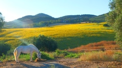 Sunflower_landscape