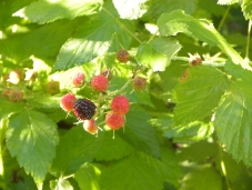 black capped raspberry, an edible forage plant at the lake