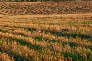 contrast straight plowing left over from wheat cultivation with keyline curves