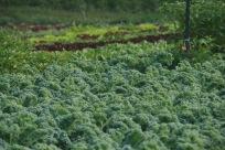 Epic Kale patch