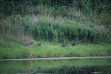 Raccoon family enjoying lakeside foraging