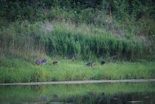 Raccoon family enjoying lakeside foraging