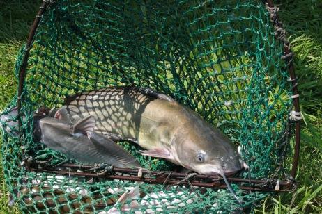 stocked catfish of 2017 summer