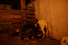 Eponine milking goats, we owe a lot to the animals at Sekier for keeping us nourished, photo by Fergus Padel