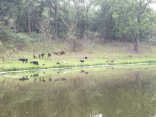 Goats from the boat, having cleared back lots of weeds, mainly invasive