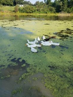 Ducks eating duckweed
