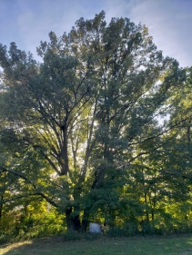 Old growth Shumard Oak basking in the sun, Treasure Lake, KY