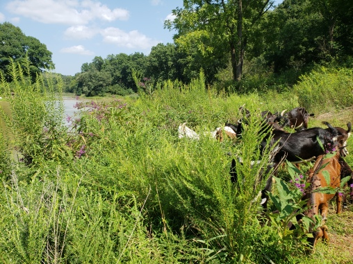 goats in pasture foraging